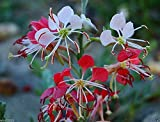 "Scarlet Gaura - Gaura coccinea - Also known as,""Scarlet beeblossom"".Flowers Seed(25 Seeds)"