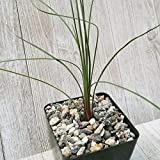 Dasylirion Parrayanum Graminifolium Cactus Cacti Succulent Real Live Plant M1