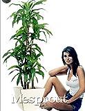 Dracaena Fragrans Seeds, Potted Balcony, Planting Seasons, Sprouting 98%(Dracaena fragrans) - 10pcs / lot