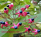 Clerodendrum trichotomum Glory Bower 10 seeds