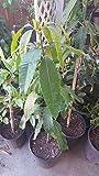9EzTropical - Manila Mango Tree - 2 Feet Tall - Ship in 1 Gal Pot