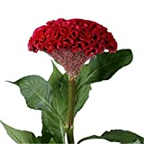 1000 Giant Red Cockscomb Flower Seeds Red Velvet Celosia