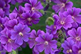 Geranium pratense 'Purple Haze' 10 Seeds-Perennial/Hardy/Amazing Foliage/Purple Flowers/Long Blooming