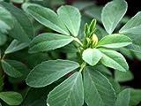 """FENUGREEK Herb 3 LIVE Seedlings 2 - 4"""" Hu Lu Ba"""