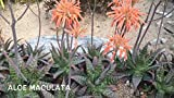 1 Bare Root of Aloe Vera Maculata Succulent Plant