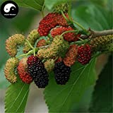 100pcs: Buy Mulberry Tree Seeds Plant Chinese fructus Mori for Fruits sang Shen