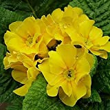 100 Pcs Blue Evening Primrose Flowers Colorful Mixed Seeds Bonsai Plant Garden Balcony Ornamental Home Primula Malacoides Flower Yellow