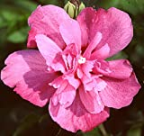 """Hibiscus Syriacus, Sanchoyo Potted Plant 4-10"""" Tall, Starter Plant, Great for any Garden"""