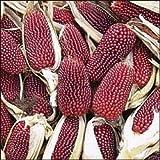 150 Red STRAWBERRY POPCORN CORN Zea Mays Vegetable Seeds