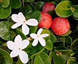 10 Seeds Carissa macrocarpa Natal Plum Fruit Shrub