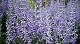 Lacey Blue Russian Sage Live Plant - Perovskia - Live Plant - Gallon Pot