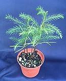 "Mini Garden Norfolk Island Pine, Indoor Christmas Tree! Beautiful Plants Shipped in 3"" Pot"