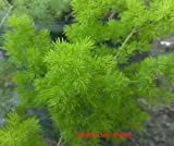 ASPARAGUS MACOWANII - MING FERN - STARTERS - 2 PLANTS