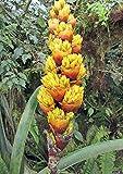 Guzmania teuscheri | 10_Seeds