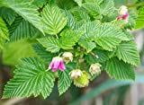 Salmonberry Bush - 1 Bare Root Plant - Rubus spectabilis - Salmonberries - By Yumheart Gardens