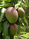 Green Leaf ® Mango trees (Mangifera Indica) 2 Seeds