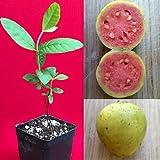 Yellow Pink Variegated Guava Psidium guajava Tree Potted Seedling Plant