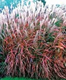30+ MISCANTHUS FLAME GRASS ORNAMENTAL GRASS / HARDY PERENNIAL