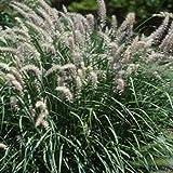 Outsidepride Fountain Grass Orientale - 50 Seeds