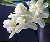 Orchid Insanity -- Cymbidium Sarah Jean 'Ice Cascade' -- a top-selling orchid of all time EASY to grow and BLOOM mildly FRAGRANT flowers excellent for beginners