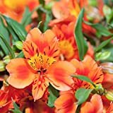 """Alstroemeria Amina - Peruvian Lily - Princess Lily - 1 Bloom - Orange - Plant in 4"""" Container 