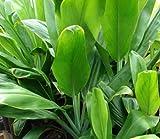 Green Good Luck Ti Logs Hawaiian - 3 Pack #FA3