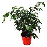 Ficus Benjamina Green aka Weeping Fig, Benjamin Fig, Ficus tree Live Plant - Indoor Live Plant Fit 1GAL Pot