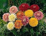 50 Assorted Chrysanthemum Seeds - My Secret Gardens