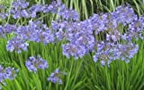 """Agapanthus Africanus, Blue Lily of the Nile, LIVE Potted Plant, 10"""" to 14"""""""
