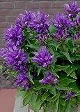 "CLUSTERED Bellflower ""Superba-Campanula Glomerata"" 25-Blue Perennial seeds"