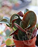 3 Plants Crassula streyi purple dragon Rare Red Leaves Succulent buddha