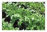 David's Garden Seeds Greens Asian Mizuna SL2883 (Green) 500 Non-GMO, Organic Seeds