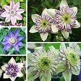 UR Gardening Seeds 50pcs Mixed Color Clematis Florida Seeds Garden Herbaceous Climber Plant