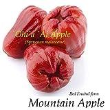 RED Mountain Apple Fruit Tree Syzygium malaccense Ohi'a Ai Apple LIVE sml Plant