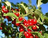 NANKING CHERRY, Cherries, Fruits, Fruit, Tree, Cherry Tree, Cherry Fruit Trees, Cherry Live Plants, (2), Hardy Cherry Trees, Sour Cherry