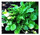 2000 Watercress Seeds - Delicious Additions to Salads