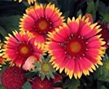 30+ GAILLARDIA BIJOU FLOWER SEEDS / RARELY OFFERED PERENNIAL