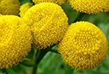 100 Seeds - TANSY SEEDS~Chrysanthemum Vulgare-Golden Button,Perennial Herb,HEIRLOOM ,Organic