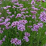 Verbena- Purpletop Vervain- Bonariensis- 100 Seeds