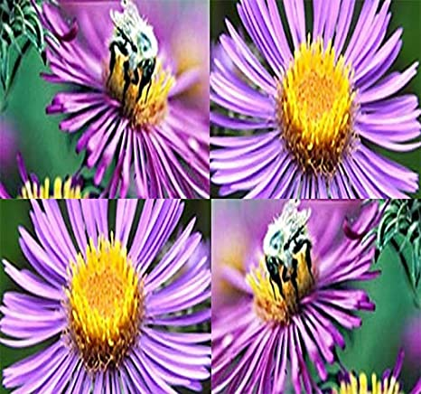 Amazon Com New England Aster Seeds Symphyotrichum Novae Angliae Seed Perennial In Zone 3 9 By Myseeds Co Big Pack 5 000 Seeds Garden Outdoor