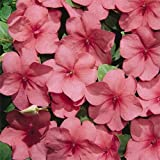Outsidepride Impatiens Tempo Watermelon - 100 Seeds
