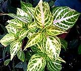 IRESINE LINDENII FORMOSA 'BLOOD LEAF' - 2 1/4 INCH PLANT