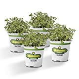 Bonnie Plants Lemon Thyme Live Herb Plants - 4 Pack | Perennial in Zones 7 To 9 | To Give Dishes a Lemon Flavor