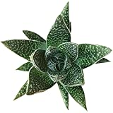 Gasteria Flow Aloe Relative Dark Green Triangular Shaped Leaves (4'' + Clay Pot)