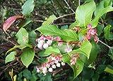 40 SALAL BERRY Gaultheria Shallon Pink White Flowers Blue Fruit Shrub Seeds