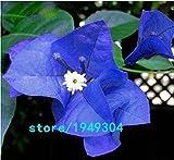 KCmart Hot Sale Unique Blue Bougainvillea Spectabilis Seeds Perennial Bonsai Plant Flower Seeds 50 PCS