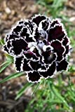 30 CHIANTI DIANTHUS Chinensis China Pink Flower Seeds