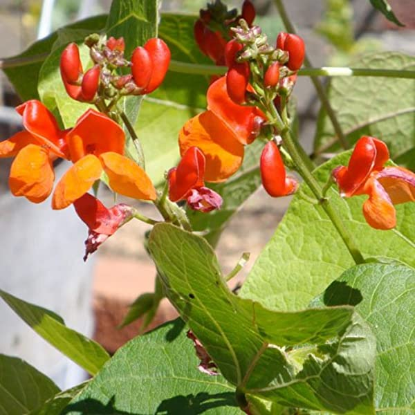 Amazon Com Seed Needs Scarlet Emperor Runner Bean Phaseolus Vulgaris 65 Seeds Non Gmo Vegetable Plants Garden Outdoor