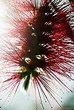 Crimson Bottlebrush (Callistemon Citrinus) Close-Up Of Blossom Poster Print (22 x 34)