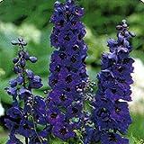 Delphinium / Larkspur - Black Knight- 50 Seeds